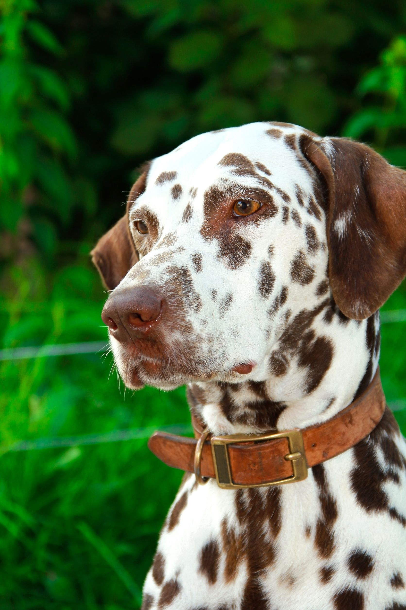 dalmation with collar